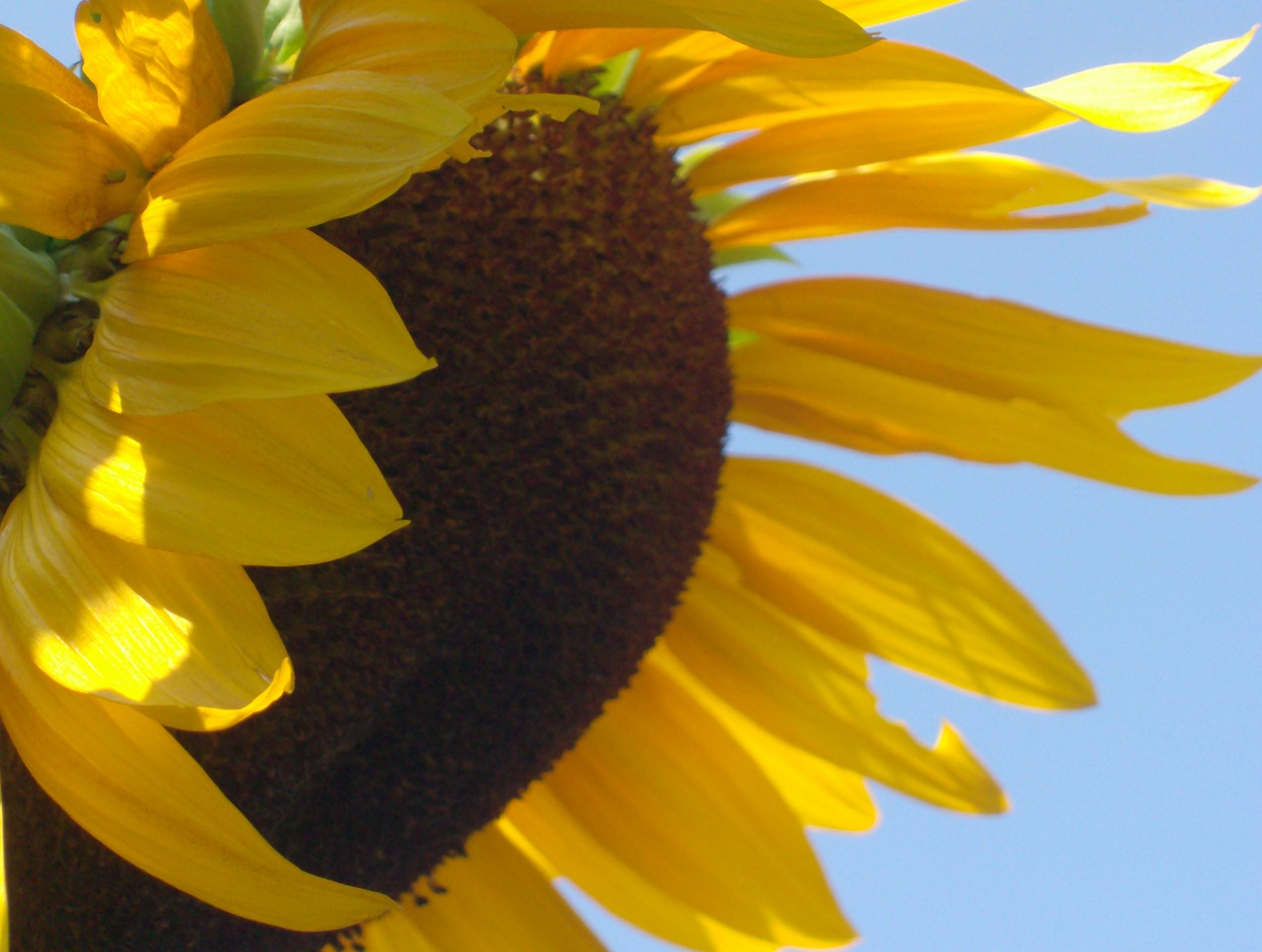 floarea soarelui 036
