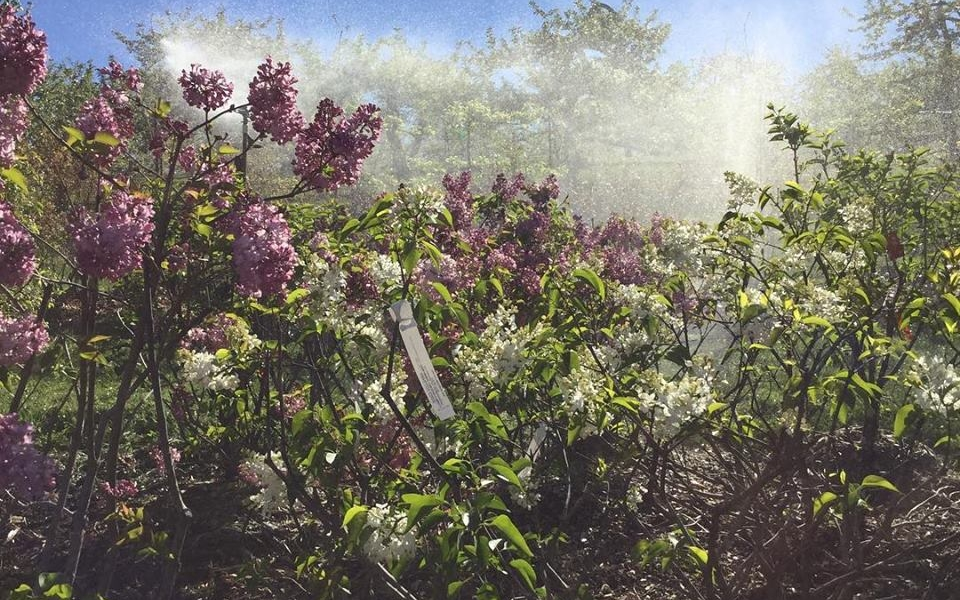 Lilacs'