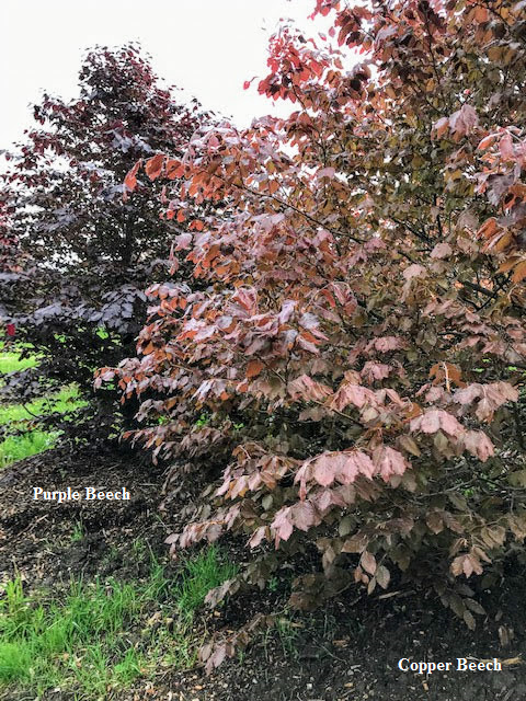 Purple Beech