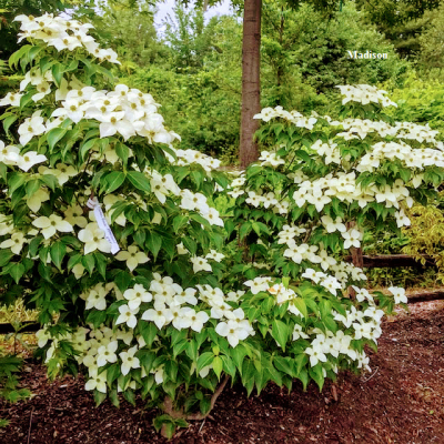 Cornus kousa chinensis, Chinese Dogwood – June 26, 2019