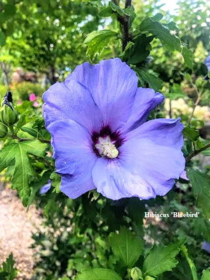 Summer-Blooming Favorites in Superb Planting Condition – August 14, 2019