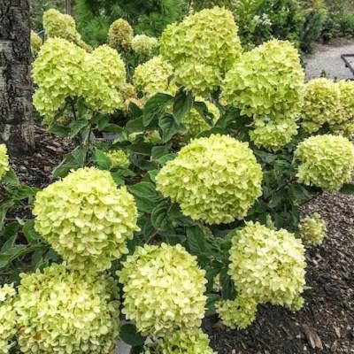 The Hydrangeas – A Windy Hill Farm Specialty, August 21, 2019