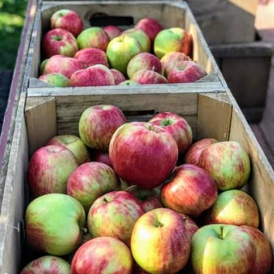 Windy Hilll Farm Apple Season Calendar