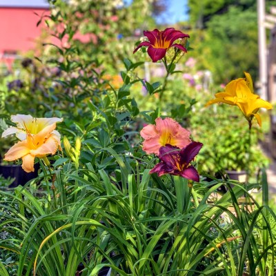 Hemerocallis, Hosta and Fern – July 22, 2020