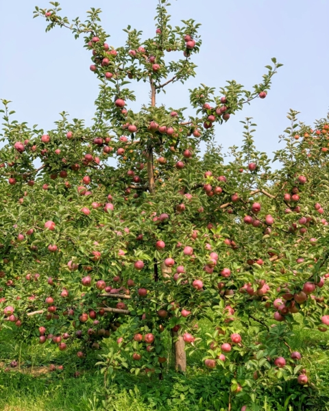 Macoun Tree (1)