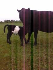 2012 Bull Calf