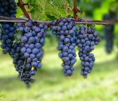 第4回☆ワインの選び方☆STEP3黒ブドウ主要5品種の特徴を知る
