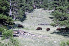 Bison back in the trees