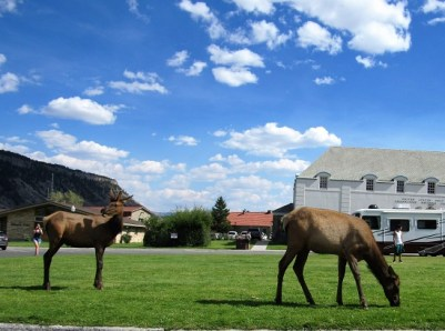 Yearling Elk - with crazy Tourists (FYI - I was in a car, with a high zoom...)