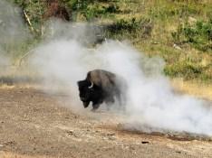 A bison walking through steam