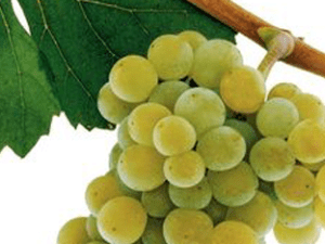 "Did You Know… Sauvignon Blanc is the ""Mother"" of Cabernet Sauvignon?"