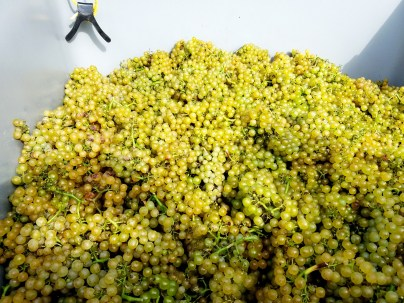 Grapes during harvest at Waltz Vineyards.  Wine Casual.