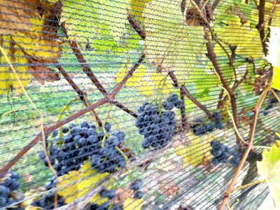 New Jersey's signature grape variety is still up for grabs.  Wine Casual