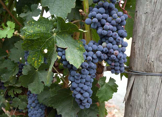 napa valley cabernet in august