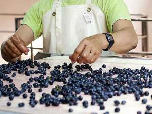 sorting wine grapes