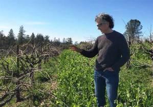 green manure vineyards