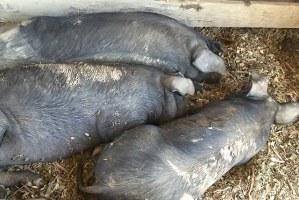 Pigs at DaVero