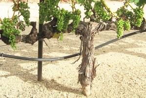 early cabernet sauvignon