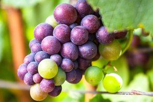 Pinot Noir grapes undergoing veraison