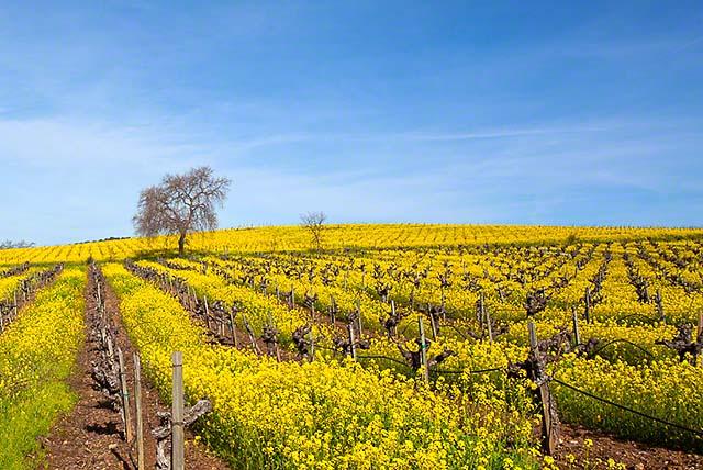 Mustard season wine country
