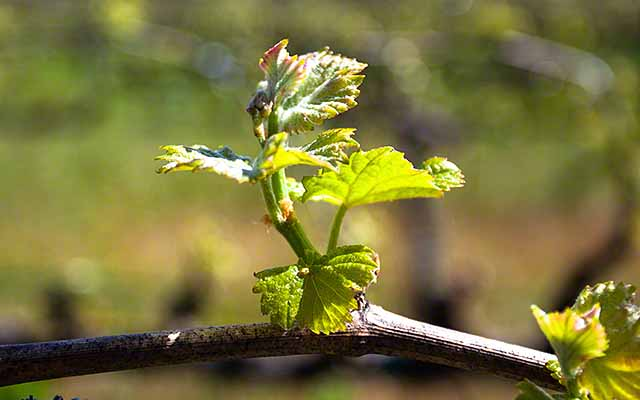 Bud Break - Cabernet Sauvignon Napa Valley