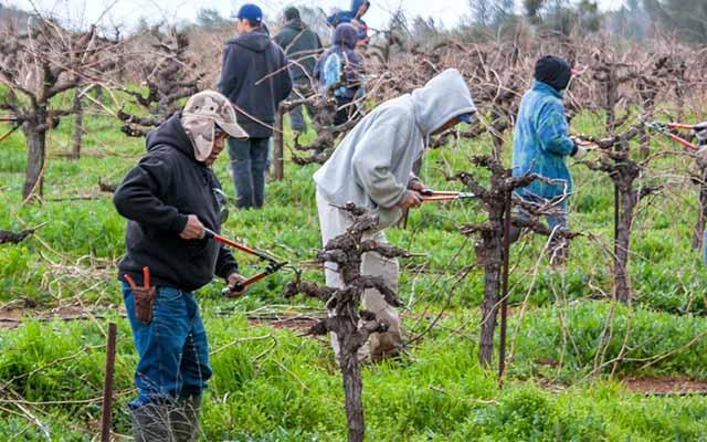 wine country getaways pruning vines