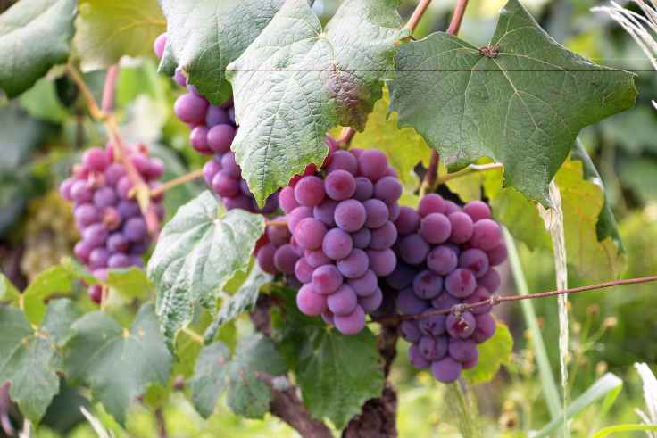 purple grapes