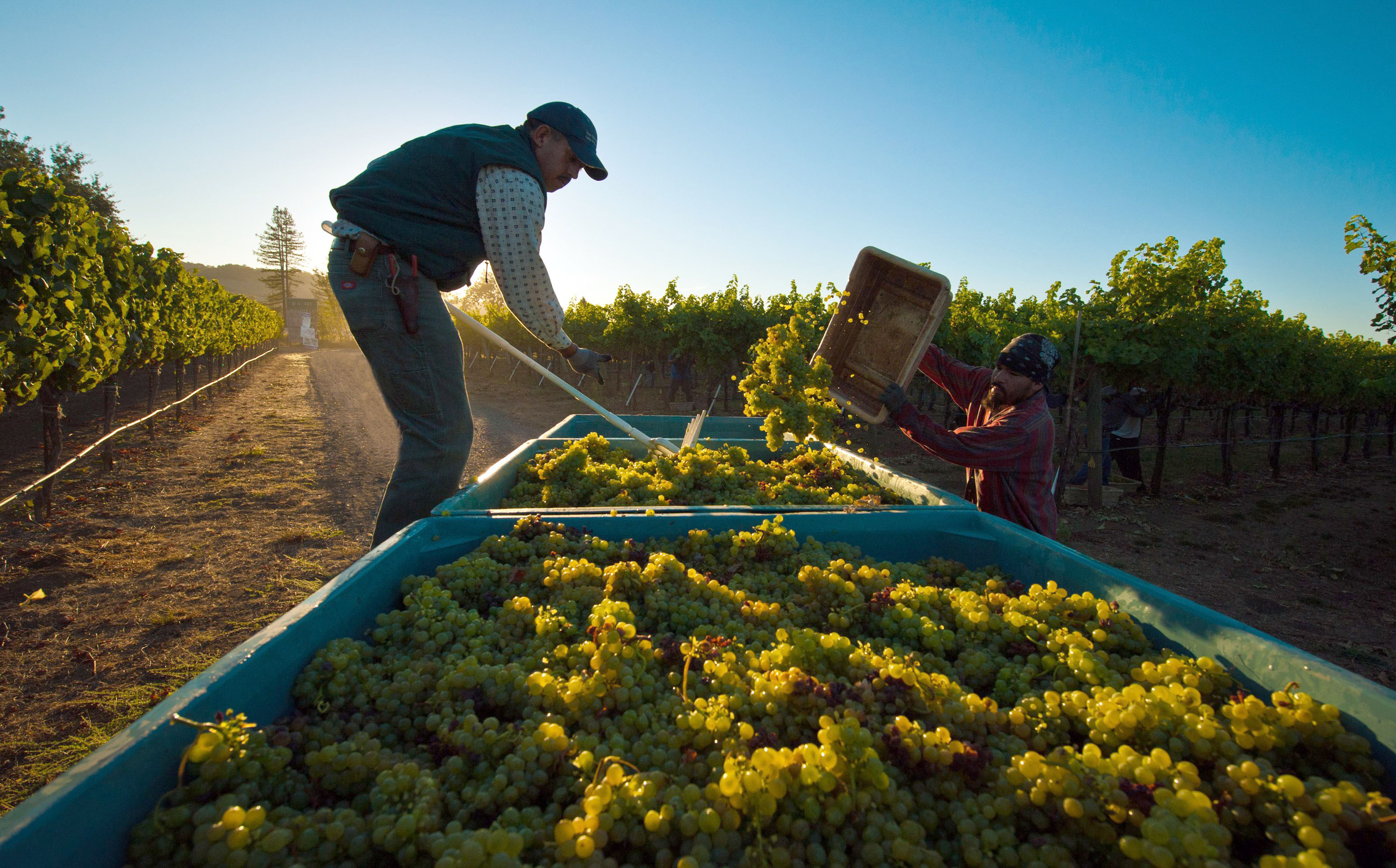 sonoma valley tours, wine harvest