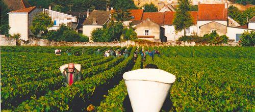 Domaine-Bernard-Moreau-et-Fils-Vintage-1999-Picking-for-Wine-Decoded-by-Paul-Kaan
