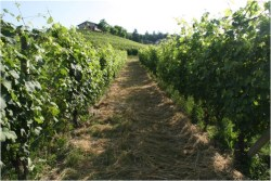 mulched-cover-crops-in-the-vineyards-of-gaja