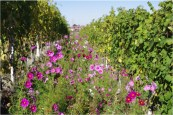 wild-flowers-in-the-gaja-vineyard-encouraging-biodiversity-and-complexity