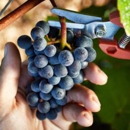 Domaine Faiveley image-moyen-it-s-harvest-time