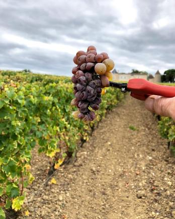First pass at Yquem a bunch of botrytis infected grapes 2018
