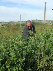 Elio Altare harvesting some of the early season beans in his prized chemical-free garden (everything he grows is chemical free).
