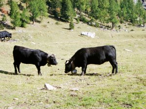 Cows naturally battle for domination in the alpages.