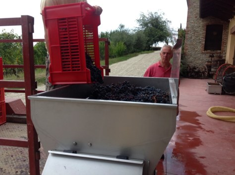 Italo watches carefully as the first boxes of Dolcetto grapes are poured into the crusher.