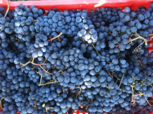Dolcetto grapes from the Tre Stelle vineyard, the first grapes of the 2014 harvest.