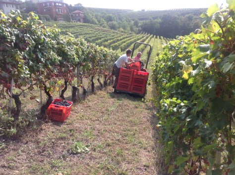 Boxes of carefully picked grapes are collected and driven to the cantina for crushing. The process begins again.