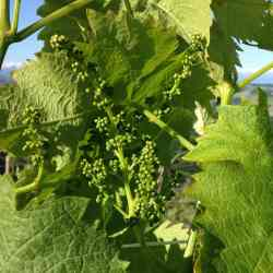 2014 - early season dolcetto grapes