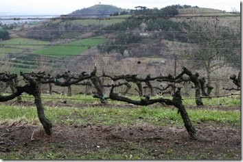 low vines