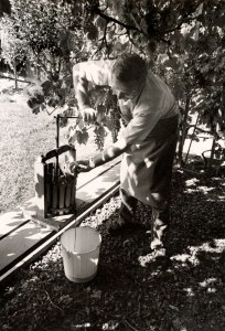 Meo Zuech pressing grapes at his home vineyard in Westlake Village, 1978