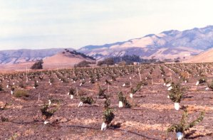 Gewürztraminer planted by Meo and Margaret in the Edna Valley, 1980s