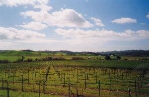 MacGregor Vineyards viewed from Piedra Creek tasting room, 1990 (became Wolf Vineyards in 1999)