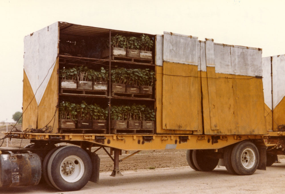 First truck load of vines, 1982. Steinbeck.