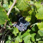The Mission Vine Project: Collaboration, Dedication and Preserving History