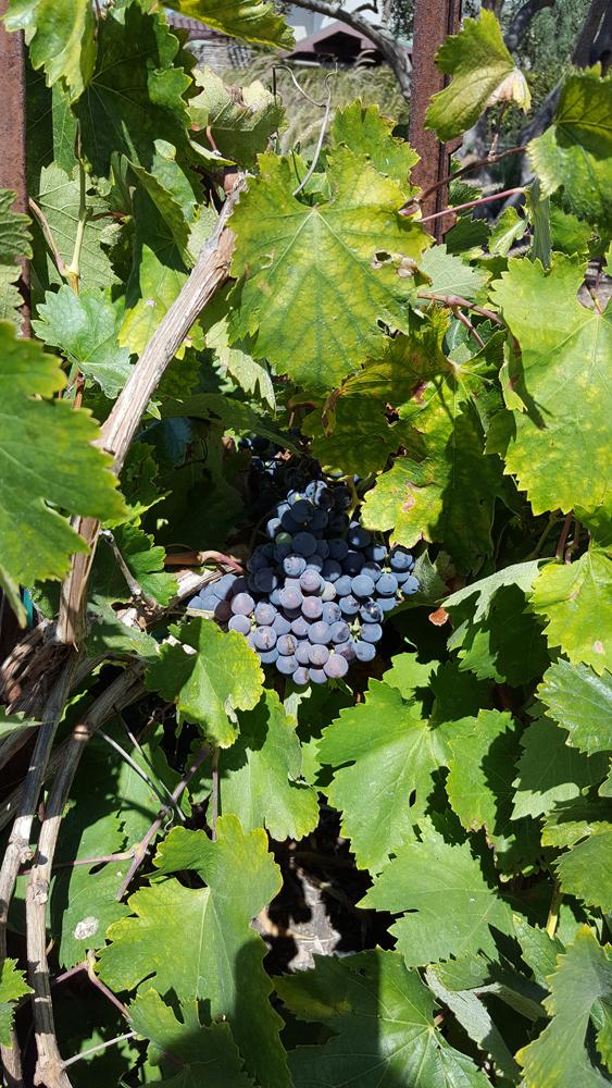 Mission Grape Vine