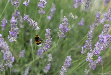 Another colorful visitor of the lavender fields