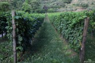 Some of the organic vines