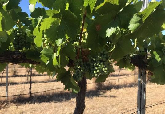 Lillicur Vineyard