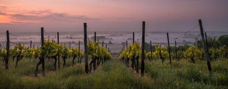 Vineyard with fog